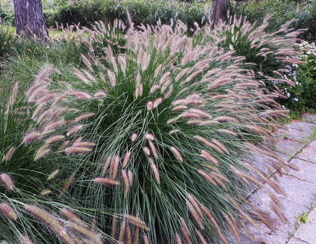 Chinese Fountain Grass