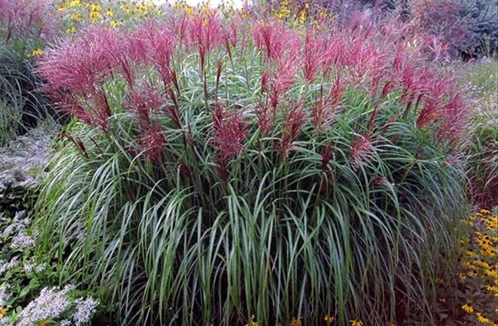 Maiden Grass Mischanthus Sinensis